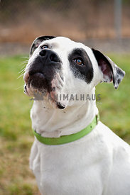 A white and black dog in a green collar looking at someone