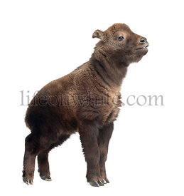 Mishmi Takin, Budorcas taxicolor taxicol, also called Cattle Chamois or Gnu Goat, 15 days old, standing against white background