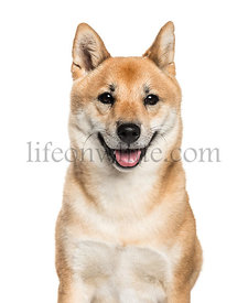 Shiba Inu, 2 years old, in front of white background