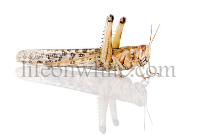 Side view of Desert Locust, Schistocerca gregaria, in front of white background, studio shot