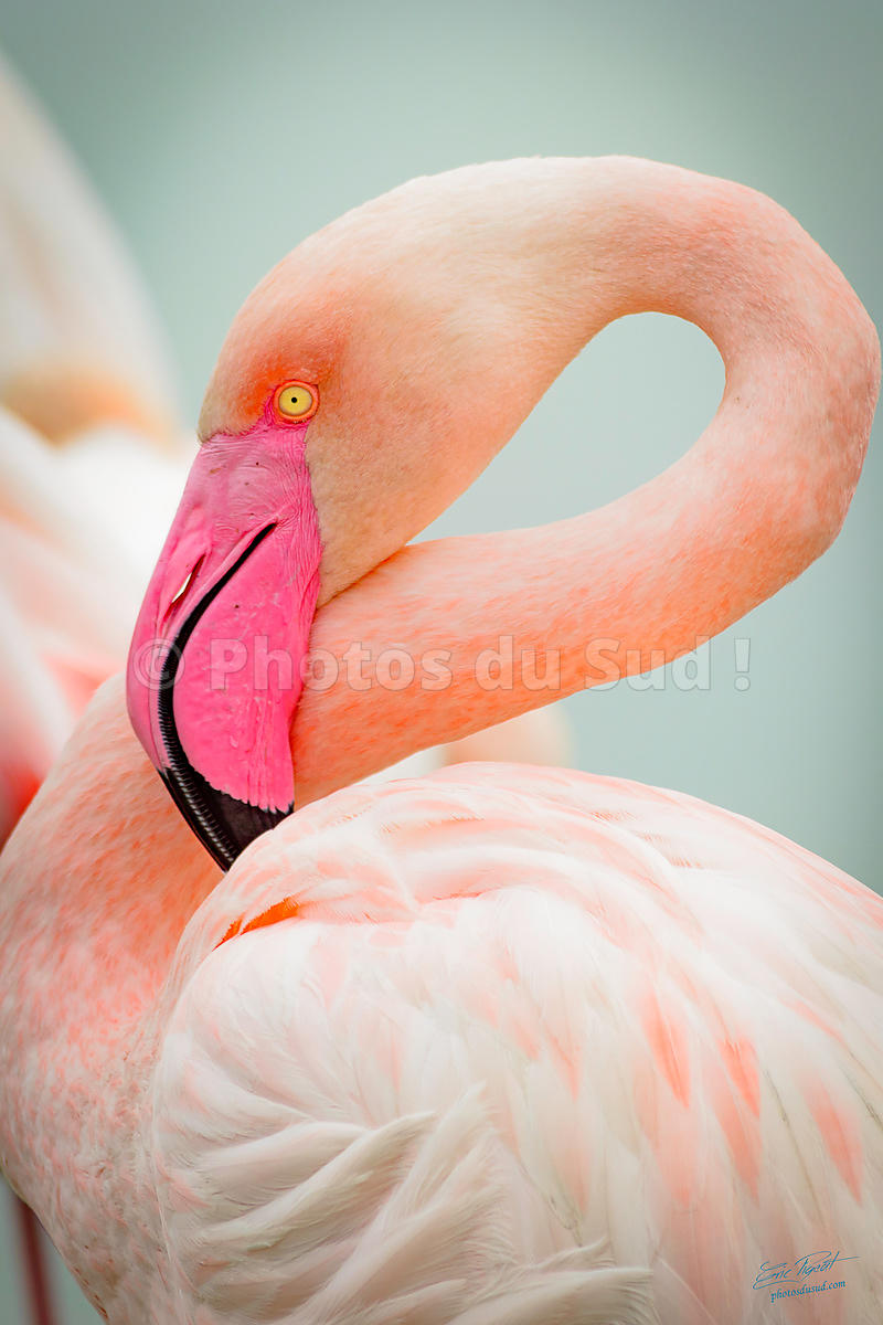 Flament rose