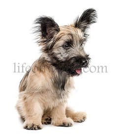 Skye Terrier dog sitting looking away isolated on white