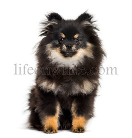 Pomeranian , 1 year, sitting against white background