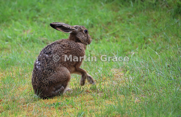 European Brown Hare (Lepus europaeus) grooming and shadow-boxing, Cairngorm National Park, Scotland: Image 1 of a sequence of 13