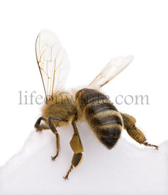 Honeybee in front of white background, studio shot