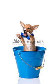 Podengo Puppy wearing blue bowtie in blue bucket with paws up