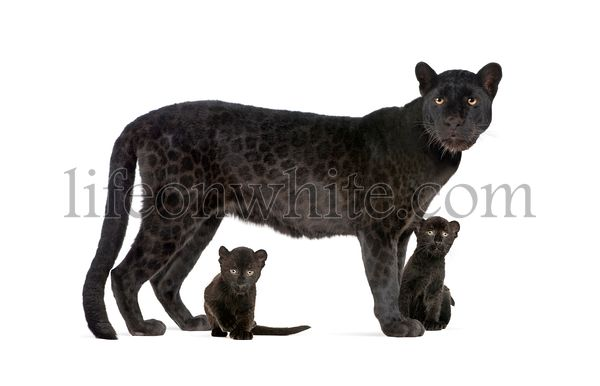 Black Leopard with her cubs, isolated