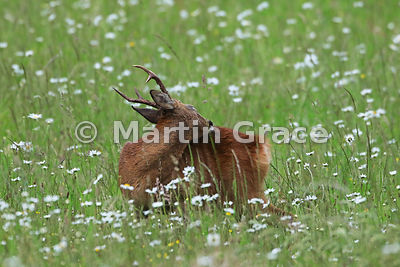 Roe Deer buck (Capreolus capreolus) grooms himself in a South Lakeland grazing meadow, June, Lake District National Park, Cum...