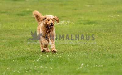 A happy goldendoodle running on a lawn