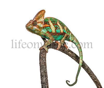 veiled chameleon, Chamaeleo calyptratus, isolated on white