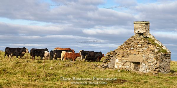 Image - Angus and Limousine Cross Cattle by ruined house, South Walls, Orkney, Scotland