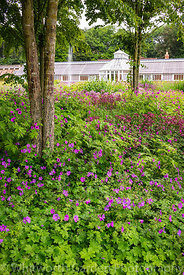 Geraniums and Astrantia in the Katsura Grove - Cercidiphyllum japonicum - looking towards the Perennial Meadow and the Victor...
