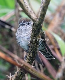 Shining Cuckoo (Shining Bronze-Cuckoo) (Chrysococcyx [Chalcites] lucidus lucidus), Okarito, West Coast, South Island, New Zea...