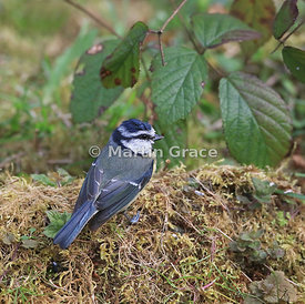European Blue Tit (Cyanistes caeruleus) standing on moss by the garden pond, Lake District National Park, Cumbria, England