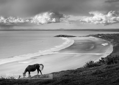 Horse above Rhossili Bay, Gower Peninsula, Wales - BP3601BW