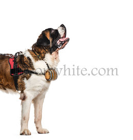 St. Bernard dog looking up with a barrel (14 months old), isolated on white
