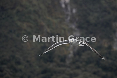 Southern Black-Backed Gull (Larus dominicanus dominicanus) in flight, looking directly at the camera, with the steep slopes o...