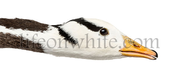 Close-up of a bar-headed goose, isolated on white