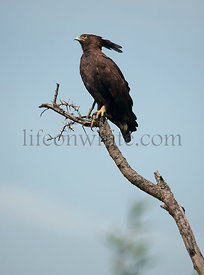 Long-crested Eagle, Lophaetus occipitalis, at the Serengeti National Park, Tanzania, Africa