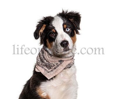 Close-up on a odd-eyed australian Shepherd wearing a scarf dog