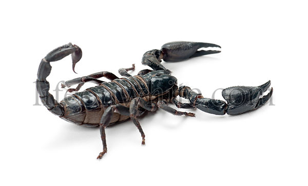 Emperor Scorpion, Pandinus imperator, against white background