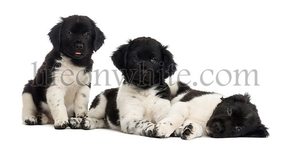 Group of Stabyhoun puppies in a row, isolated on white
