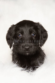 Cute little black lab puppy on white blanket