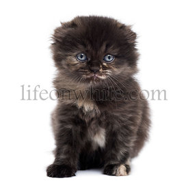 Front view of a Highland fold kitten looking at the camera, isolated on white