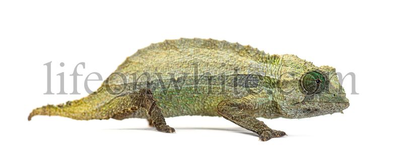 Side view of a Bearded leaf chameleon isolated on white