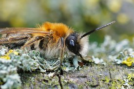 Closeup of a male Grey-patched Mining Bee, Andrena nitida, on lichen covered wood
