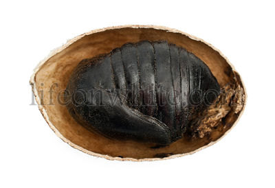 South India Small Tussore, Antheraea paphia, chrysalis, inside shell, against white background