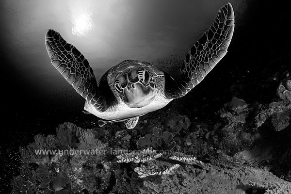 Sea turtule in black and white