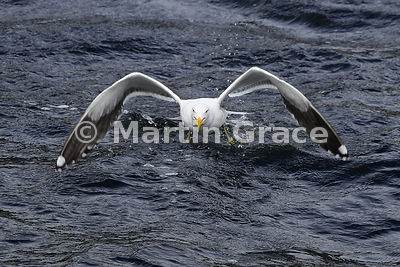 Southern Black-Backed Gull (Larus dominicanus dominicanus) taking off from the surface of Doubtful Sound; note how it has its...