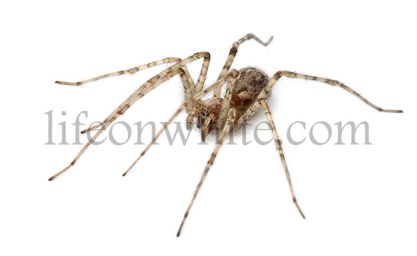 Cardinal spider, Tegenaria parietina, in front of white background