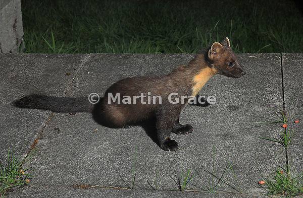 European Pine Marten (Martes martes), Badenoch & Strathspey, Scottish Highlands