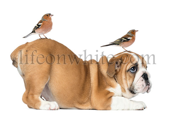 English Bulldog Puppy bottom up with two common chaffinch on head and tail, 2 months old, isolated on white