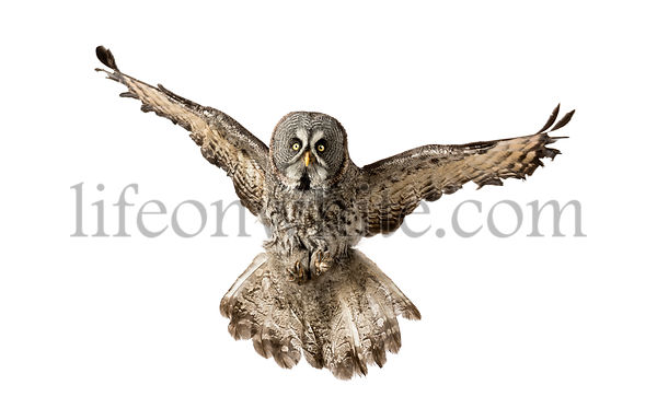Front view of a Great Gray Owl flying, Strix nebulosa, isolated on white