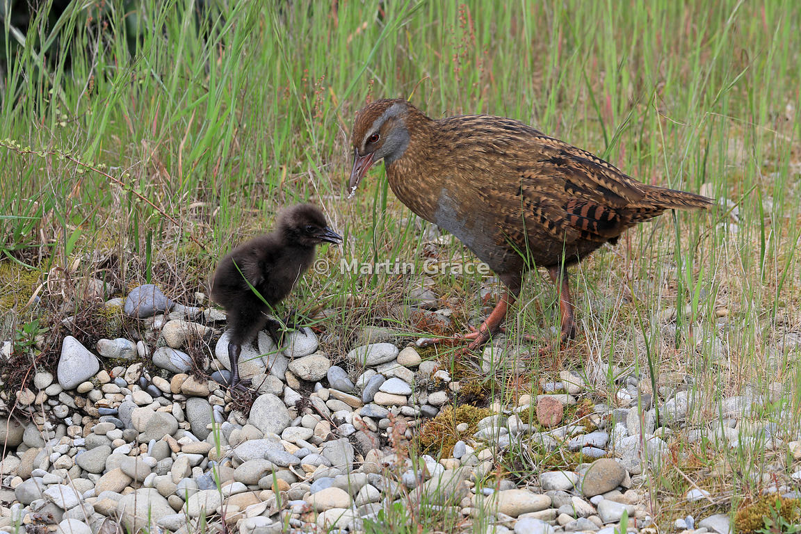 North Island Weka (Gallirallus australis greyi) feeds its chick, Kapiti Island, North Island, New Zealand