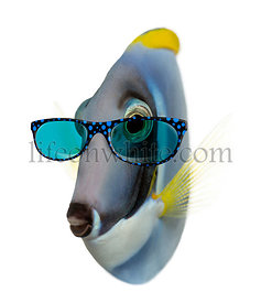 Powder blue tang wearing glasses, Acanthurus leucosternon, isolated on white