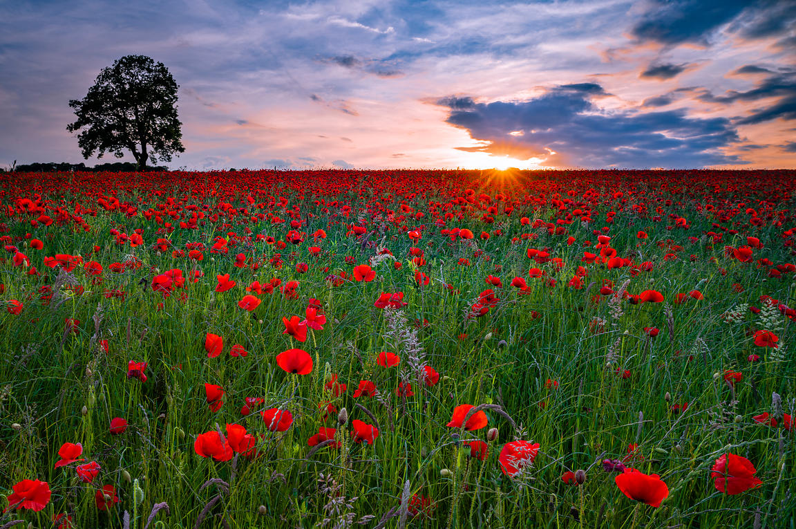Poppy field sunset at Baslow and Hassop