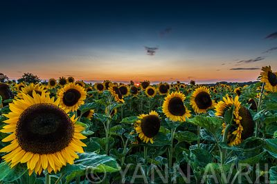Helianthus-Field of Sunflowers at sunset, Sangatte, Hauts de France, France ∞Tournesols au coucher de soleil, France, Hauts d...