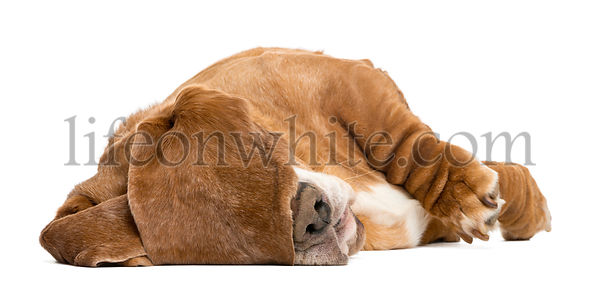 Basset Hound lying and sleeping with its ears hiding its eyes, isolated on white