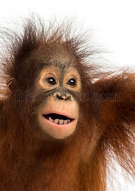 Close-up of a young Bornean orangutan, mouth opened, Pongo pygmaeus, 18 months old, isolated on white