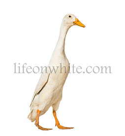 Duck walking against white background