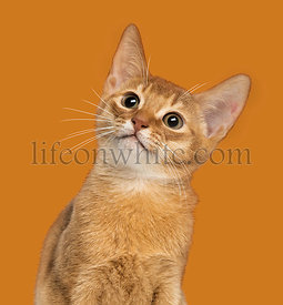 Close-up of an Abyssinian kitten looking up, 3 months old, on orange background