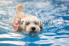 Westiepoo dog swimming in pool with lifejacket