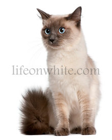 Ragdoll cat, 15 months old, sitting in front of white background