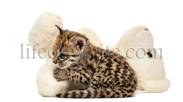 Side view of an Oncilla cuddling with a Stuffed toy, Leopardus tigrinus, 5 weeks old, isolated on white