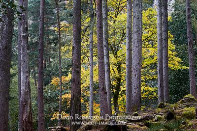 Image - Beech tree in pine forest.  Autumn in Torridon, Wester Ross, Highland, Scotland