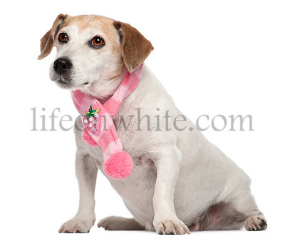 Fox Terrier wearing pink scarf, 8 years old, sitting in front of white background